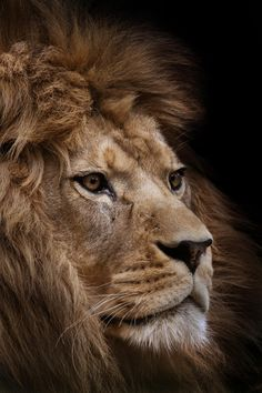 Barbary Lion by Sue Demetriou Another one of this lion from the Port Lympne Wildlife Park and he is a beauty; much darker than any other lion I have seen… left quite speechless by him really and just...