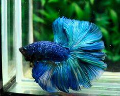Halfmoon Betta Auctions - Thu May 14 2020 Beta Fish Names, Betta Fish Types, Pet Fish, Halfmoon Betta, Beautiful Fish, Blue Roses, Fish And Chips, Aquariums, Tropical Fish
