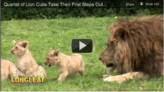 Nine Month Old Lion Cubs Take Their First Steps Outside