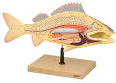 Model Fish Dissection - Perch Big