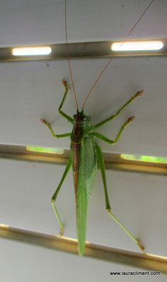 Grasshopper Spider, Insects, Spiders, Bugs