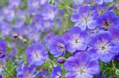 GERANIUM hybrid 'Rozanne' - Storkenæb, farve: violet/hvid midte, lysforhold: sol, højde: 40 cm, blomstring: juli - september, god til bunddække.
