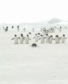 Tobogganing is a faster, more efficient, easier way for penguins to cross large stretches of ice instead of walking🐧❤️ Video @myeonghoseo  #penguin #penguins #antarctica #travel Cute Little Animals, Cute Funny Animals, Funny Cute, Cute Cats, Cute Animal Videos, Cute Animal Pictures, Cute Penguins, Tier Fotos, Wild Life