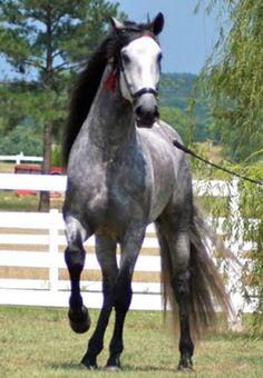 Andalusian Stallion ~ Beautiful Horses