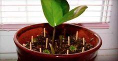 Coloque alguns palitos de fósforo em torno de sua planta favorita - você não vai acreditar no que vai acontecer!   Cura pela Natureza