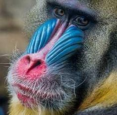 Ugly Animals, Zoo Animals, Primates, Mammals, Creature Decks, Funny Monkey Pictures, Mandrill Monkey, Monkey World, Denver Zoo