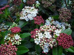 Viburnum-Tinus-Eve-Price-Fast-Growing-Evergreen-Shrub- Often used as a hedge Fragrant Flowers from Oct. to June Shrub reaching 2-7 m tall and 3 m broad with dense, rounded crown. Leaves: Evergreen, persisting 2-3 years Average water needs. Sun to part shade