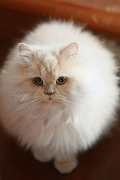 Fluffy white cat https://www.facebook.com/catsRpeopleToo
