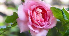 A rózsa nemes virága évszázadok, sőt évezredek óta a szépség és a tökéletesség ritka együttesét jelképezi, mely a korabeli perzsa, kínai kerteknek épp úgy része volt, mint a későbbi korok Európájának kolostorkertjeinek vagy éppen a reneszánsz és barokk...