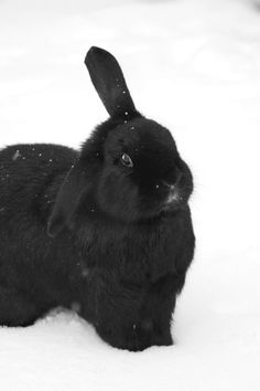 Black bunny in snow via ZsaZsa Bellagio: Wild & Free