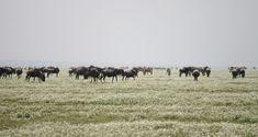 Zebras and Wildebeests - Serengeti National Park, Tanzania