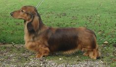 Disney 10 Months Standard Dachshund, Whelping Box, 12 Year Old, Country Of Origin, Disney, Dogs, Animals, Animales, Animaux