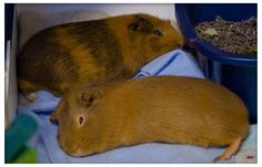 5 Most Common Guinea Pig Owner Mistakes  http://hubpages.com/hub/5-Most-Common-Guinea-Pig-Owner-Mistakes