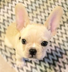 Frenchie love!