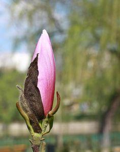 Bud by mircea.az on YouPic Canon Ef, Bud, Magnolia, Nature, Plants, Naturaleza, Magnolias, Plant, Nature Illustration