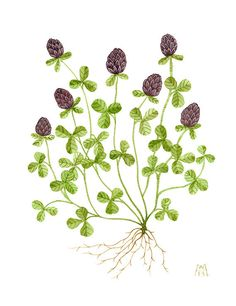 Clover original watercolor painting botanicals by GollyBard