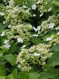 Jakten på den perfekte klatreplanten… Hydrangea Petiolaris, White Gardens, Climbers, Hydrangeas, Herbs, Exterior, Gardening, Outdoor, Inspiration