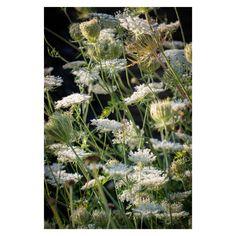 Plant Design, Garden Design, White Plants, Family Garden, White Christmas, Kent London, Park, Portrait, Carrot