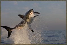 Great White Shark Breaches -- the most incredible thing to see -- South Africa Great White Shark Pictures, Cool Pictures, Shark Week, Animal Action, Shark Tattoos, The Great White, Deep Blue Sea, Ocean Life, Marine Life