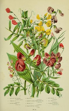 The flowering plants, grasses, sedges,  ferns of Great Britain.