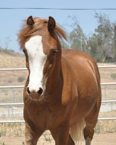 Classified Ads - Welsh Pony & Cob Society Welsh Pony, Cob, Ponies, Animals, Animales, Animaux, Animal, Pony, Animais