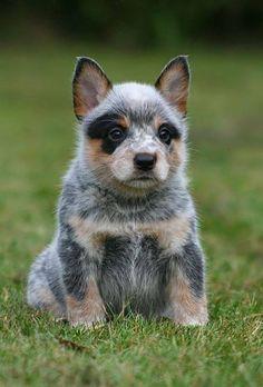 Precious little Australian Shepherd!