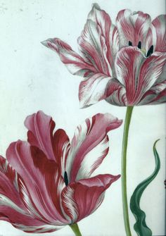 Detail van 'Drie tulpen', Maria Sybilla Merian (1647-1717). Penseel en waterverf en dekverf op perkament. Teylers Museum. Plant Illustration, Botanical Illustration, Botanical Drawings, Botanical Prints, Sibylla Merian, Arte Floral, Vintage Flowers, Painting & Drawing, Flower Art