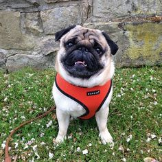Orange puppia harness in sizes xs-xxl at www.ilovepugs.co.uk  post worldwide