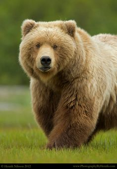 Grizzly and Brown Bears - Henrik Nilsson Love Bear, Big Bear, Bear Pictures, Animal Pictures, My Spirit Animal, My Animal, Ours Grizzly, Grizzly Bears, Animals And Pets