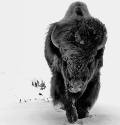 Buffalo/Bison in snow Buffalo Animal, Buffalo Art, Nature Animals, Animals And Pets, Wild Animals, Wildlife Photography, Animal Photography, American Bison, Tier Fotos