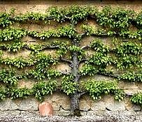 Espalier. So beautiful. I have wanted to do this at my home for quite some time. Good information.