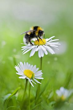 Margarida com abelha