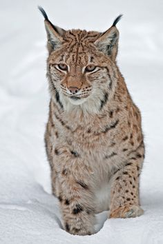 "Eurasian Lynx (Lynx lynx) by Falco Beutler on 500px. ""Winter time in the Bavarian forrest. A Eurasian lynx is making his way through heavy snow. """