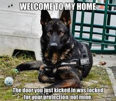 Wicked Training Your German Shepherd Dog Ideas. Mind Blowing Training Your German Shepherd Dog Ideas. Humor Animal, Funny Animal Memes, Funny Animal Pictures, Cute Funny Animals, Dog Pictures, Funny Dogs, Dog Photos, I Love Dogs, Cute Dogs