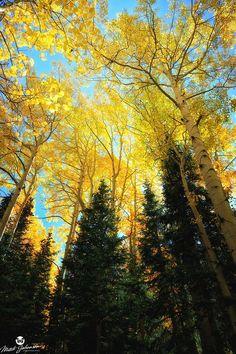 ~ Pine Glow ~ Wasatch Mountains, Utah....by Mitch Johanson....