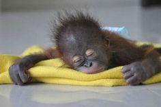 A Sleepy Orangutang Baby!! He/She is so cute!!! I want one!!
