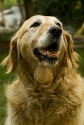 Natural Remedies and Relief for Dogs with Arthritis, Joint Pain, Hip Dysplasia and Shoulder OCD