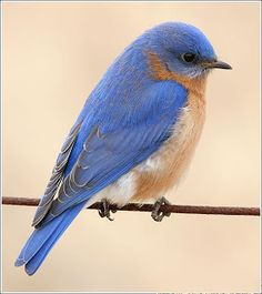 They're so cute and fat and colorful. I wish we had Bluebirds around here.