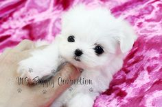 Cute Teacup Maltese Puppies For Sale. View Cute Teacup Maltese Puppies For Sale & Pictures. Find Teacup Maltese Puppy Breeders Near You. Maltese Dog For Sale, Maltese Dog Breed, Cute Puppies For Sale, Dogs For Sale, Cute Dogs, Teacup Maltese, Teacup Puppies, Baby Puppies, Teacup Pigs