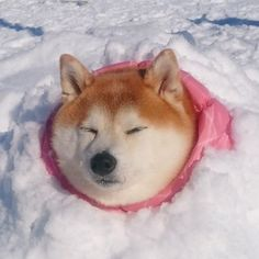 Shiba inu in the snow cutie Shiba Inu, Cute Puppies, Cute Dogs, Dogs And Puppies, Animals And Pets, Baby Animals, Akita, Cute Creatures, Cute Funny Animals
