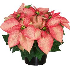 140mm Assorted Poinsettia From Bunnings At Crossroads Homemaker