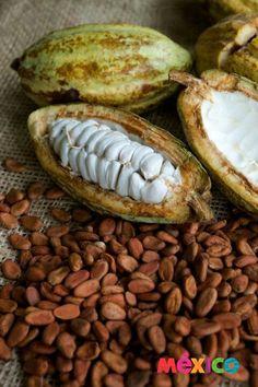Cacao, fruto natural de Tabasco, base para el chocolate