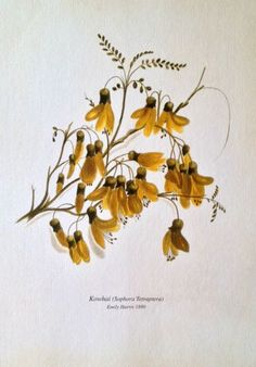 Check out the deal on Kowhai Botanical Print by Emily Harris at New Zealand Fine Prints Botanical Tattoo, Botanical Drawings, Botanical Prints, Plant Illustration, Botanical Illustration, New Zealand Tattoo, New Zealand Art, Flower Tattoo Foot, Flower Tattoos