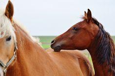 Un cheval qui pose sa tête sur le dos d'un de ses congénères