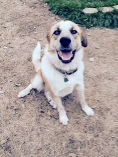 Meet Sammy, a Petfinder adoptable Australian Shepherd Dog | McKinney, TX | Sammy is an Australian Shepherd/Lab mix.   He is approximately 1 year old and weighs 69 pounds.  He...