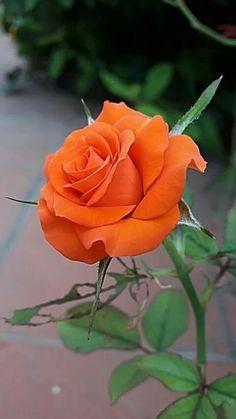 ¿Alguna vez has visto 60 colores diferentes de rosas? Whenever we approached the Flores & Beautiful Rose Flowers, Flowers Nature, Exotic Flowers, Orange Flowers, Amazing Flowers, Pretty Flowers, Red Roses, Love Rose, Yellow Roses