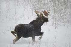 Moose Pics, Moose Pictures, Animal Pictures, Moose Hunting, Bull Moose, Hunting Stuff, Pheasant Hunting, Turkey Hunting, Archery Hunting