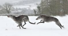 They're so gosh darn adorable! :D Scottish deerhound Beautiful Dogs, Animals Beautiful, Big Dogs, Dogs And Puppies, Doggies, Animals And Pets, Cute Animals, Saarloos, Scottish Deerhound