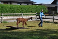 Use obstacles along with a longer lead to teach your animal to walk in balance and pay attention. Obstacles--- really a better word is opportunities for learning-- can teach teamwork and confidence!