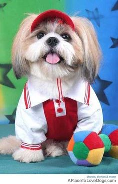 My shih tzu would look cute in this too.